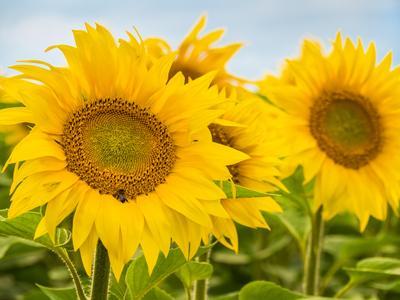 Маленькие солнышки. поле подсолнухи цветы растение подсолнечник желтый лето