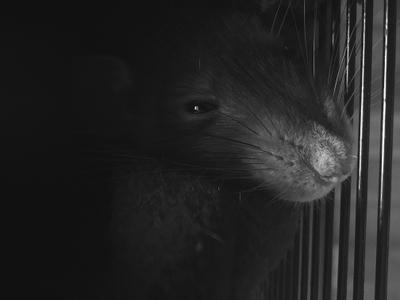 Сущность в форме крысы животные