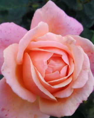 Sunset rose закат роза макро
