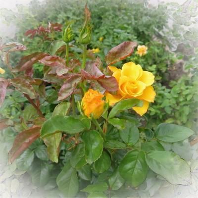 Осенние розы Природа цветы розы желтые