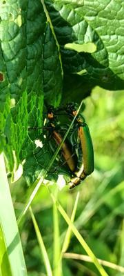Влюблённая парочка Зелёные жуки жучки два жука на цветке листе блестящие