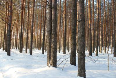 Сосновый бор Сосна лес дерево кора