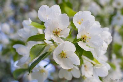 Ароматы лета лето яблоня природа макро