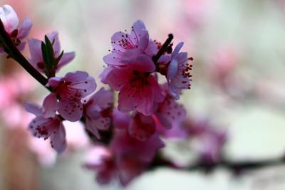 цветение персика.
