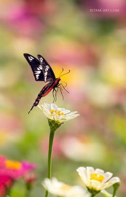Солист баЛета / Summer-Ballet Solo бабочка парусник pachliopta hector crimson rose индия ритам мельгунов стихи поэзия