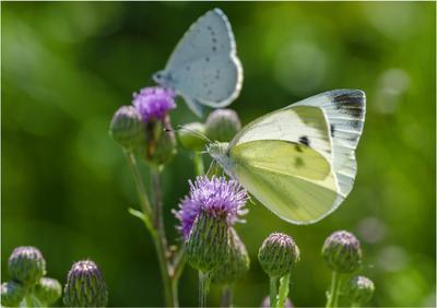 Летние бабочки.. лето утро репейник бабочки