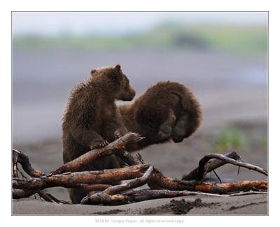 Ты куда?????? медвежата, аляска, отношения, дикая природа