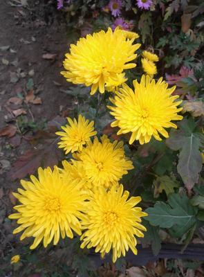 Желтые хризантемы цветы осень