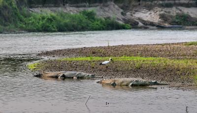 Ну что, поели. Теперь можно и поспать... Непал река Рапти крокодилы гавиалы