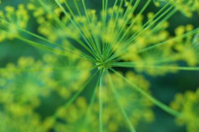 Весенняя свежесть Макро зеленый цвет весна растение укроп