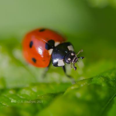 Божья коровка насекомое макро жук