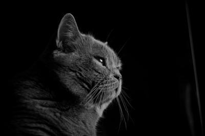 Оззи кот