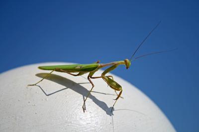 Mantis religiosa или ужаснейший и изящнейший богомол европейский...прошу любить и жаловать