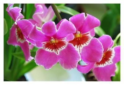 Miltoniopsis IV орхидея, мильтониопсис