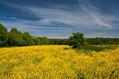 Урожай рапса Пейзаж поле рапс небо деревья цветенье