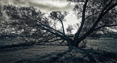 Дерево старое, ветви усталые...