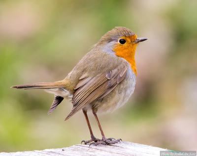 Зарянка птицы