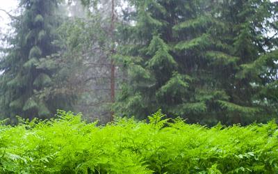 under the rain Central Forest Reserve Anton Korablev Rain Pteridium aquilinum Центрально-Лесной заповедник Антон Кораблёв Дождь Папоротник Орляк