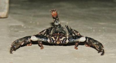 Индийский чёрный скорпион индийский черный чёрный скорпион насекомое насекомые insects predatory arachnids scorpionidae indian black scorpion heterometrus bengalensis