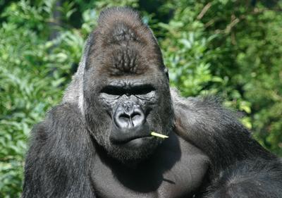 Который тут Дарвин? Амстердамский зоопарк горилла обезьяна
