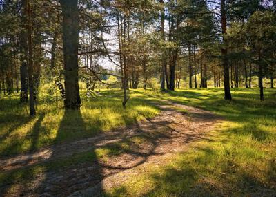 *** лес сосны дорога весна