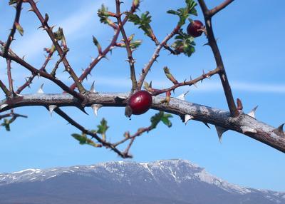 пробуждение Шиповник, горы, весна, Чатырдаг