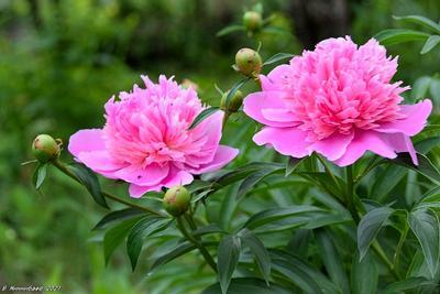 Пионы природа лето цветы пионы