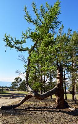чудо природы Дерево Байкал лиственница