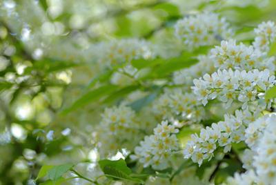 Черемуха весной Черемуха цветение