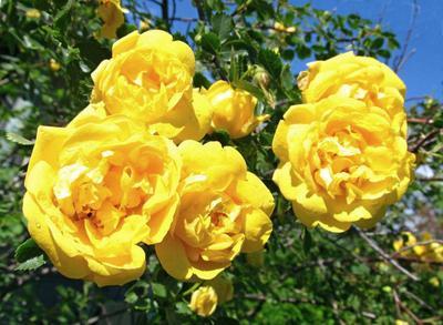 Желтая роза роза цветы желтая