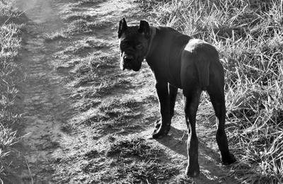 Нерешительный щен ... монохром щенки кане-корсо