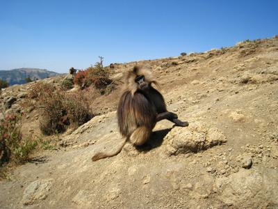 Гелада, самец, один из редких видов приматов семейства мартышковые, обитает только в горных районах Эфиопии. эфиопия вулкан кратер горы скалы