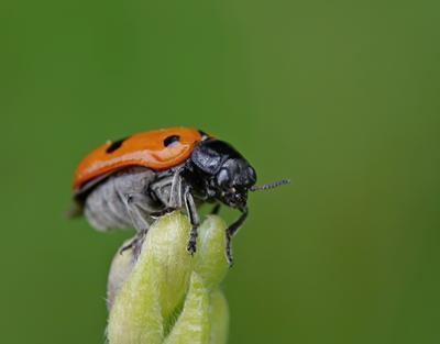 Клитра четырехточечная (Clytra quadripunctata)