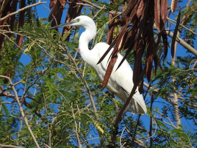 Цапля белая малая Фотоохота птицы Таиланд цапля