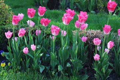 тюльпан джамбо пинк розовый