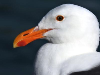 Чайка хохотунья (Caspian gull). Чайка