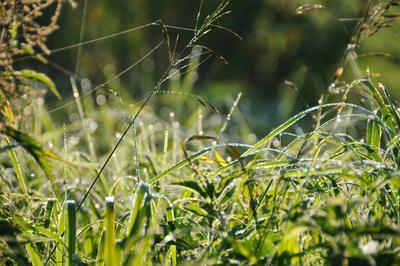 Роса роса трава