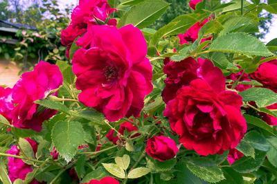 Красная роза роза