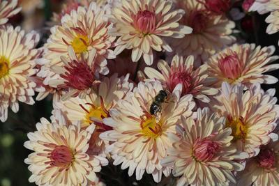 Гостья хризантем