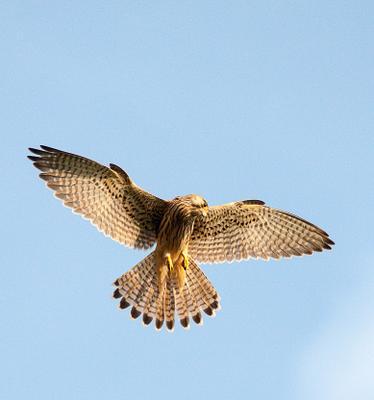 Пустельга пустельга Falco