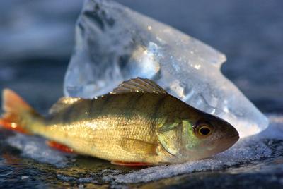 Первый окунь сезона рыбалка окунь зимняя