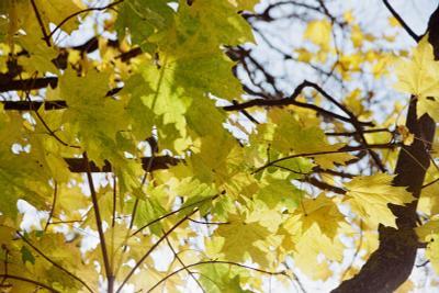 Краски осени 2 Осень клен листва 2020