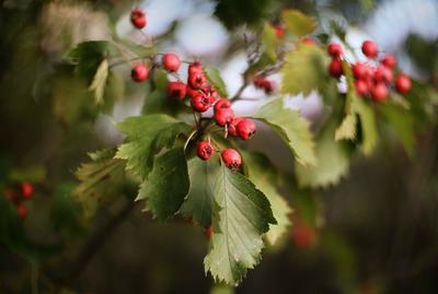 Боярышник. боярыник ягоды листья