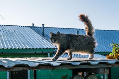 Хвост трубой Крыша котяра