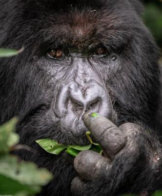 Горная горилла горилла обезьяна человекообразные животное дикая жизнь Африка Конго Вирунга сафари