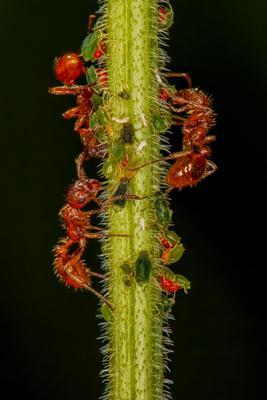 Муравьиная ферма муравей муравьи тля макро kenigsberg72