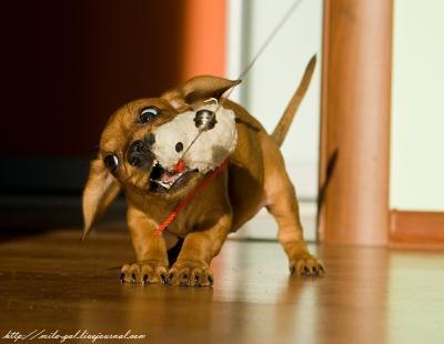 Штуша-Кутуша стрррашный зверь!)) собака, щенок, такса