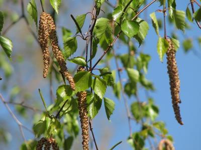 Весеннее настроение Весна зеленые листья береза