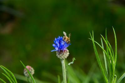 *** природа пчела цветок трава