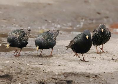 Скворцы скворцы птицы